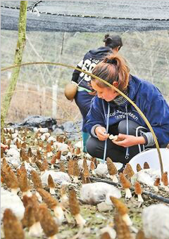 种植羊肚菌 拓宽增收路